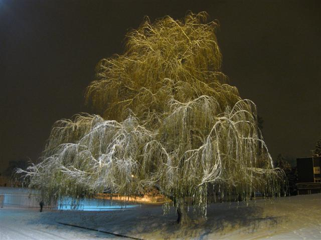 A cold weeping willow.