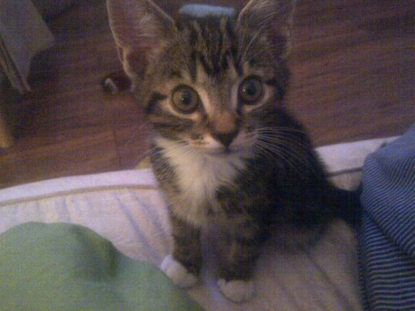 6 month Old Male Tabby Kitten- Requires Rehoming - Items for Sale ...
